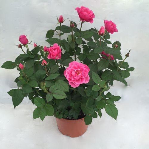 faire pousser roses en appartement