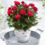 cultiver des roses en appartement